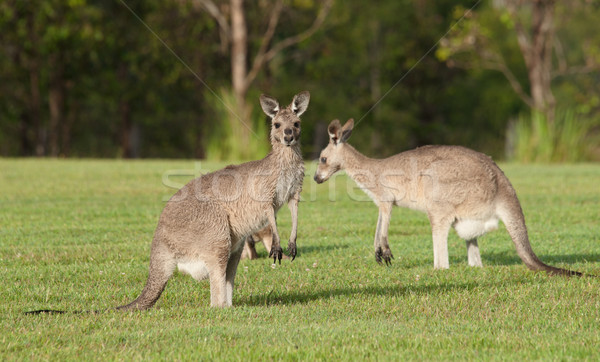 Oriental cinza australiano grama animal canguru Foto stock © clearviewstock