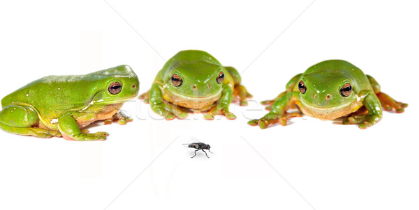 green tree frogs and a fly Stock photo © clearviewstock
