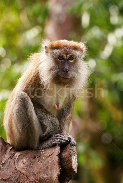 Singe faible arbre visage séance Malaisie Photo stock © clearviewstock
