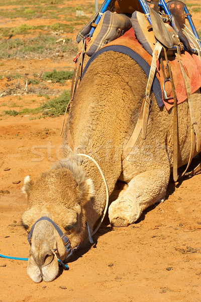 camels Stock photo © clearviewstock