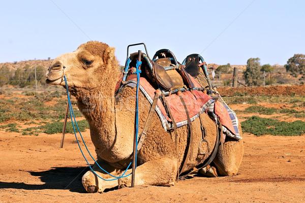 верблюда седло сидят природы фото фотография Сток-фото © clearviewstock