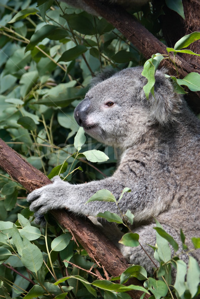 australian koala Stock photo © clearviewstock