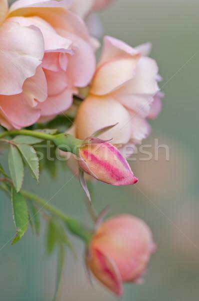 Pembe güller mükemmel görüntü Stok fotoğraf © clearviewstock