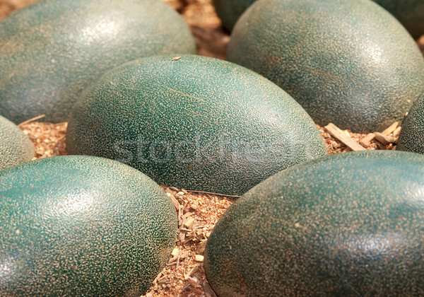 emu eggs Stock photo © clearviewstock