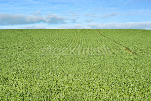 lush green grass Stock photo © clearviewstock