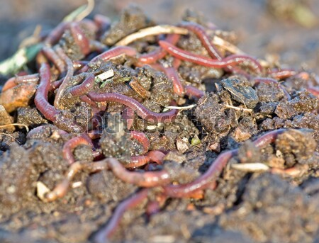 worms in the garden dirt Stock photo © clearviewstock