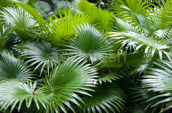 熱帯 熱帯雨林 手のひら ヤシの葉 森林 緑 ストックフォト © clearviewstock