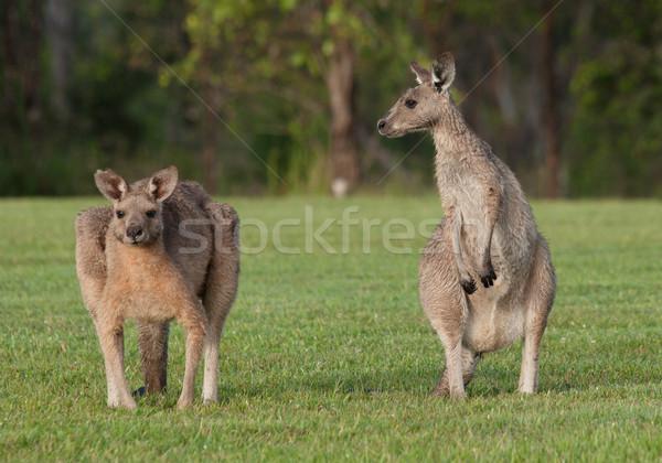 Doğu gri avustralya çim hayvan kanguru Stok fotoğraf © clearviewstock