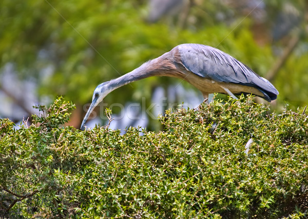 white faced heron on a hedge Stock photo © clearviewstock