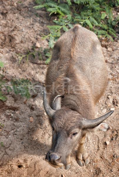 water buffalo Stock photo © clearviewstock