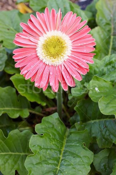 Stockfoto: Roze · mooie · groot · heldere · bladeren · portret