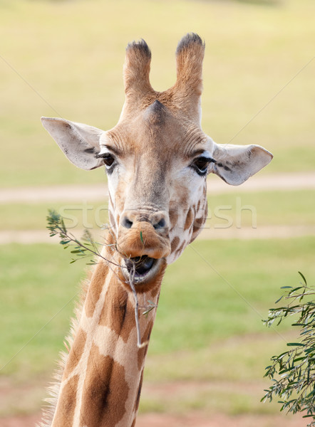 african giraffe up close Stock photo © clearviewstock