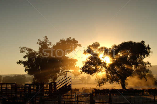 catlle in the morning Stock photo © clearviewstock