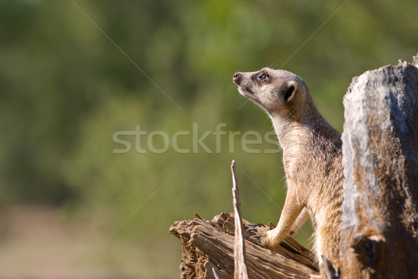 meerkat on guard Stock photo © clearviewstock