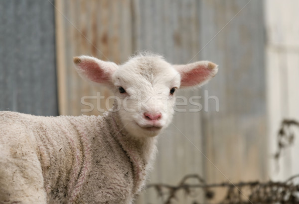 young lamb on the farm Stock photo © clearviewstock