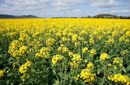 canola in the farm field Stock photo © clearviewstock