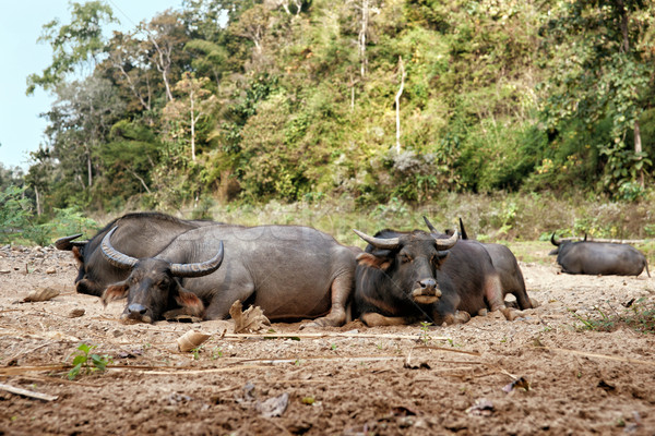 sleeping water buffalo Stock photo © clearviewstock