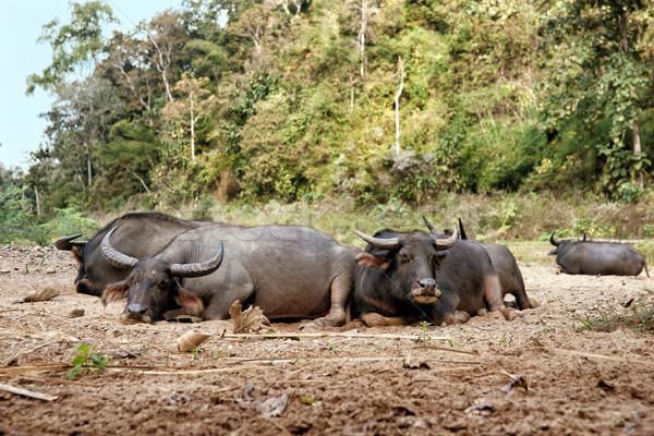 Stock photo: sleeping water buffalo