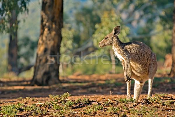 australian kangaroo Stock photo © clearviewstock