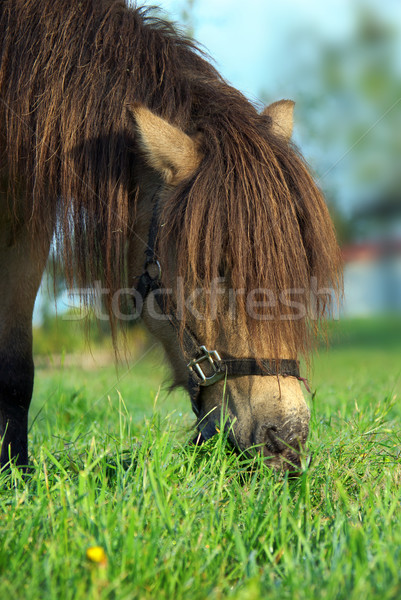 horse eating grass Stock photo © clearviewstock