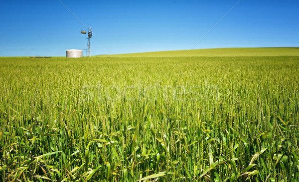 Tarwe gras platteland groene groeiend land Stockfoto © clearviewstock