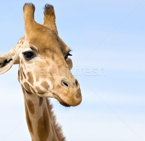 close up of giraffe Stock photo © clearviewstock