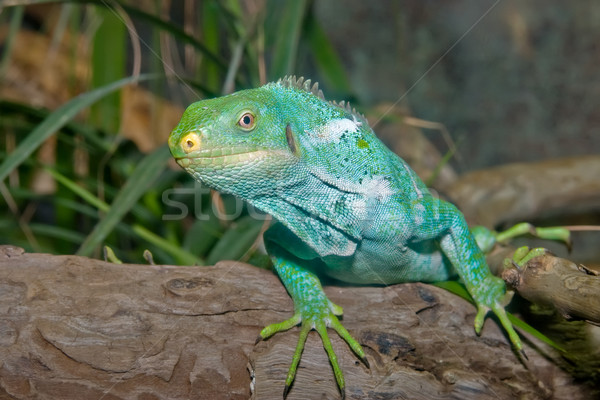 Groene leguaan heldere hagedis camera Stockfoto © clearviewstock