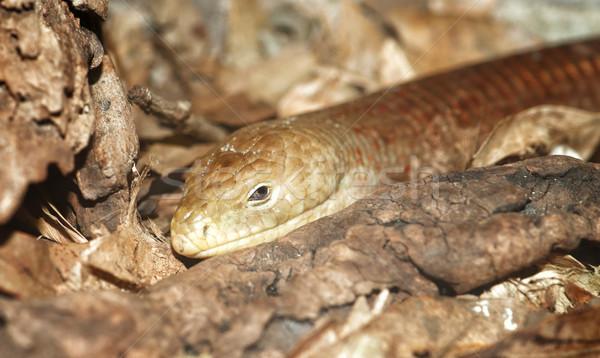 legless lizard Stock photo © clearviewstock