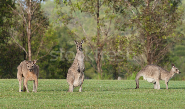eastern grey kangaroos Stock photo © clearviewstock
