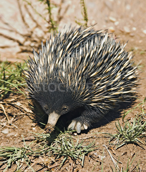 echidna Stock photo © clearviewstock