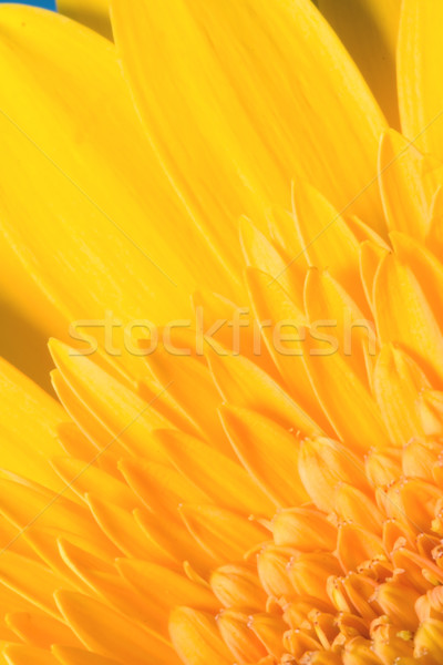 Ragdoll Sunflower background Stock photo © cmcderm1