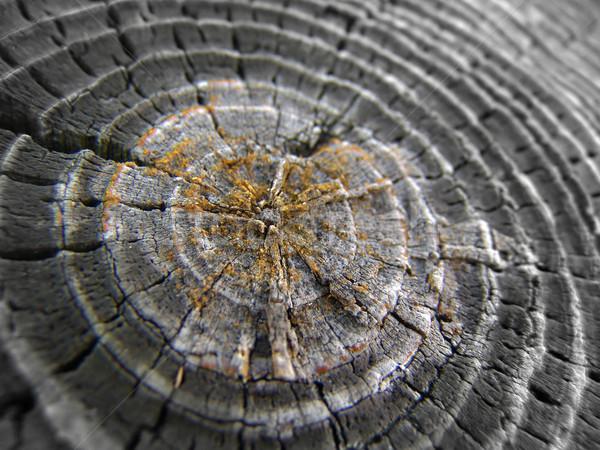 Fa gyűrűk közelkép kor fa természet Stock fotó © cnapsys