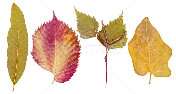 Barack levelek hamu nyírfa padlizsán izolált Stock fotó © Coffeechocolates