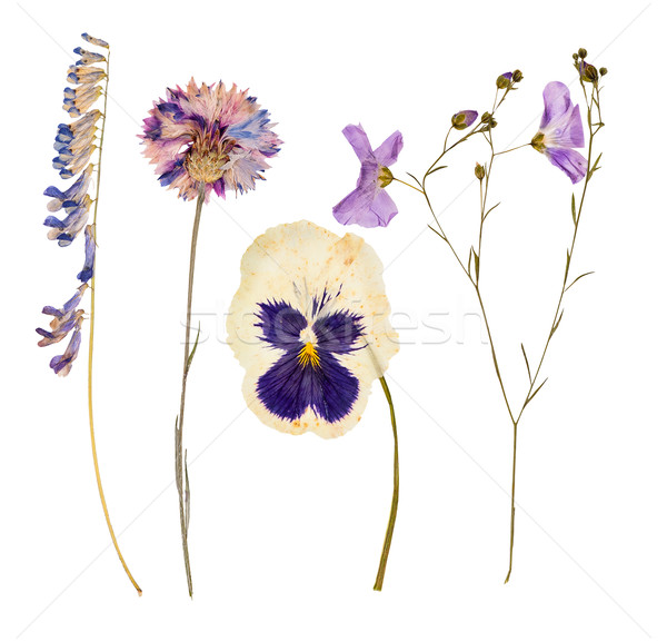 Set of wild dry pressed flowers and leaves Stock photo © Coffeechocolates