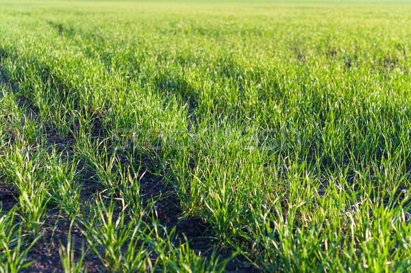 Grama verde abstrato textura natureza paisagem fundo Foto stock © Coffeechocolates