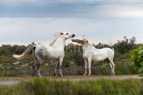 Jogar cavalos dois branco viajar liberdade Foto stock © Coffeechocolates