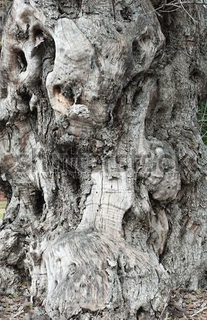 Stock photo: Trunk old olive tree