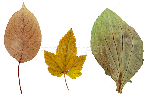 Leaves of apple, currants and plantain Stock photo © Coffeechocolates