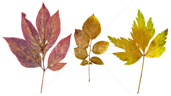 Peony leaves, potato leaves and leaves of lovage Stock photo © Coffeechocolates