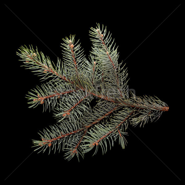 Blue spruce branch Stock photo © Coffeechocolates