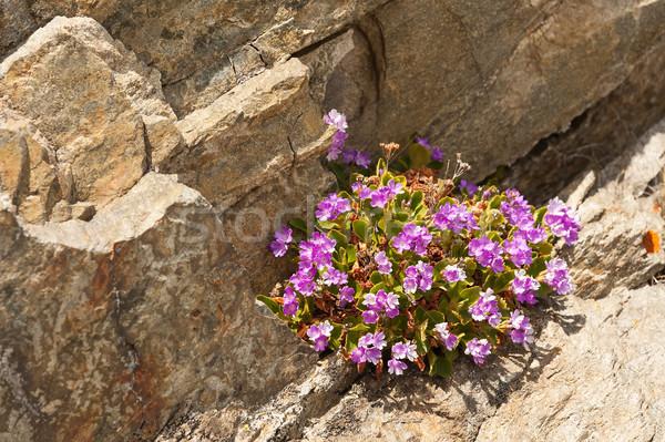Alpine flowers on a stone background Stock photo © Coffeechocolates