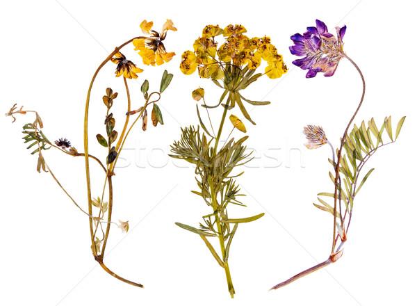 Set of wild alpine flowers pressed Stock photo © Coffeechocolates