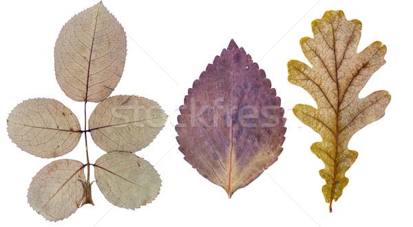 Rose leaves, basil leaf and oak leaf Stock photo © Coffeechocolates