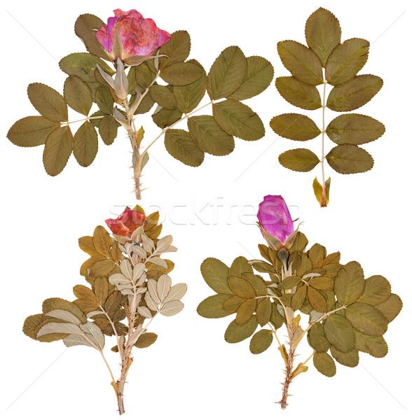 Conjunto secar flores rosa isolado Foto stock © Coffeechocolates