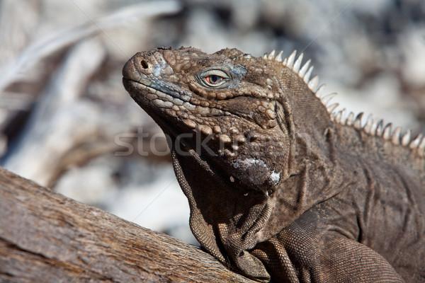 Leguaan foto eiland caribbean zee ogen Stockfoto © cookelma