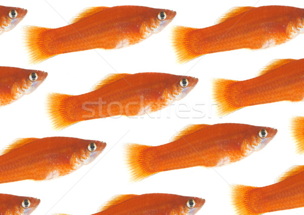 Flight of gold small fishes on a white background. Stock photo © cookelma