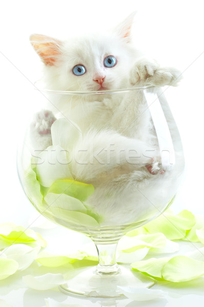 白 子猫 青い目 ガラス ワイングラス 笑顔 ストックフォト © cookelma
