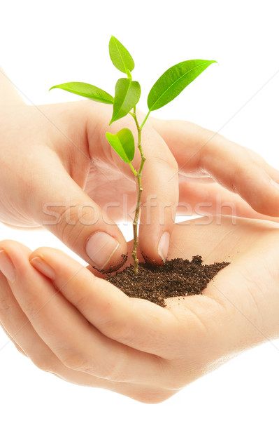 Human hands and young plant  Stock photo © cookelma