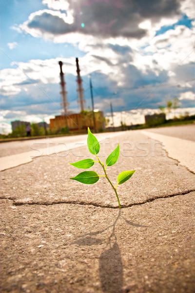 Fiatal növény út aszfalt város út Stock fotó © cookelma