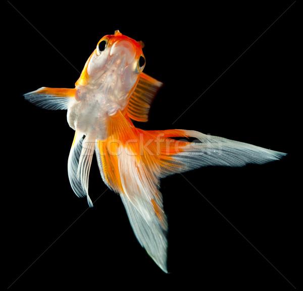 Goldfish изолированный темно черный рыбы оранжевый Сток-фото © cookelma